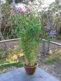 growing sweet peas in containers u2013 caring for potted sweet pea flowers