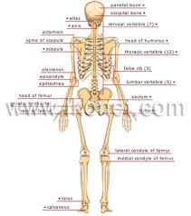 Skeletal Picture Of Foot The Human Skeleton Visual Dictionary