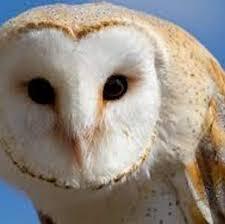 North American Barn Owl Owls Dominate Day 1 Of Birding Fest