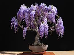 isn u0027t this amazing bonsai is hard enough to grow but to get it