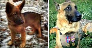 belgian shepherd diesel russia is giving france a police puppy to replace k 9 diesel
