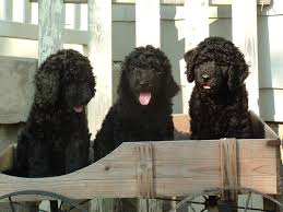multi generational labradoodles now ready for homes get yours