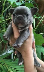 australian shepherd for sale los angeles los angeles dog for sale puppies for sale
