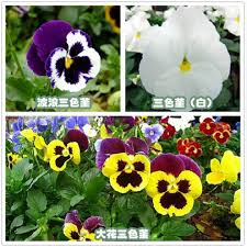 buy easy to plant plants potted indoor balcony easy to plant