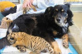australian shepherd and cats australian shepherd adopts three tiger cubs daily mail online