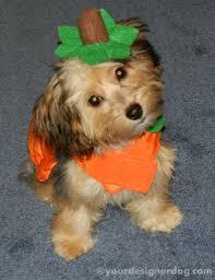 yorkie halloween costumes pumpkin yourdesignerdog