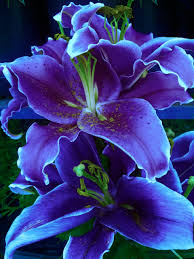 beautiful flower images purple lily flowers gardens and flower