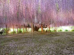 japan flower tunnel amazing fairy tale flower tunnel in japan wisteria fuji and japan