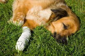 Leg Pain Going Down Stairs by Leg Injury In Dogs Symptoms Causes Diagnosis Treatment