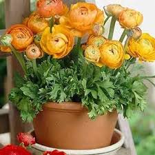 looking for prolific u0026 terrific bulbs check ranunculus plant