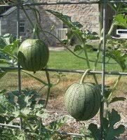 growing watermelons vertical