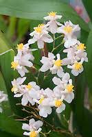 oncidium orchid stock orchid images oncidiums tolumia psychopsis images