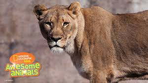 awesome animals s1e10 lion jpg