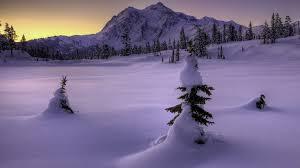 scene pines winter pine snow snowy tree wallpaper portrait