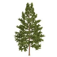 white pine tree eastern white pine pine lumber wood for sale wisconsin pine