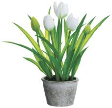 white tulips potted white tulips paul michael company