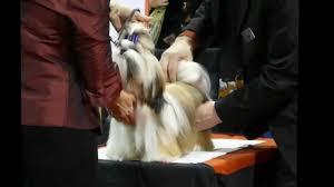 afghan hound national dog show purina national dog show 2012 youtube