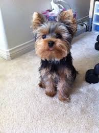 pictures of puppy haircuts for yorkie dogs meet pebbles our baby official threadsence mascot