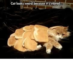 Weird Cat Meme - cat looks weird because it s inbred cats meme on me me