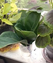 Fiddle Leaf Fig Tree Care by Fiddle Leaf Fig Update Joe U0026 Cheryl