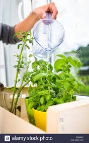 kitchen herbs watering the kitchen herbs young woman pouring fresh water into