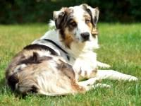 australian shepherd dog puppies search locally for australian shepherd dog puppies and dogs