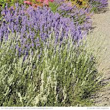 Most Fragrant Lavender Plant - 266 best great plants images on pinterest garden gate gates and