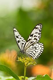 625 best butterflies 1 images on pinterest beautiful