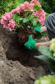 hydrangeas flowers hydrangea care how to grow hydrangeas garden design