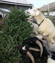 s f goats no longer pining to eat discarded christmas trees sfgate