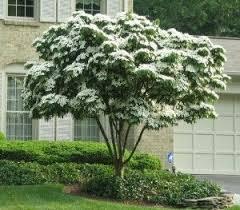 kousa dogwood cornus kousa one of the best ornamental trees for