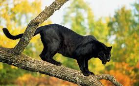 panther animal desktop wallpaper 52632 1920x1200 px