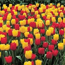 best value on tulip bulbs