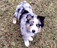 1 month old australian shepherd our sweet australian shepherd puppy blue merle cache panak
