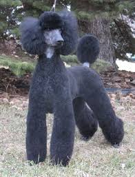 different toy poodle cuts 122 best poodle cuts clips styles images on pinterest poodles