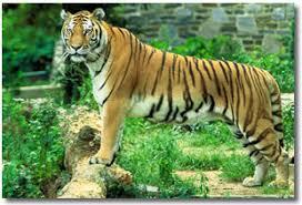 imagenes de animales carnivoros para imprimir informacion sobre el tigre informacion sobre animales