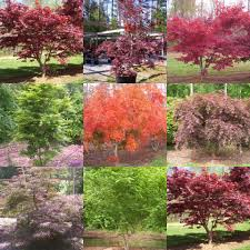 the japanese maple tree farm