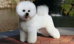 2 month old bichon frise bichon frise grooming bathing and care espree animal products