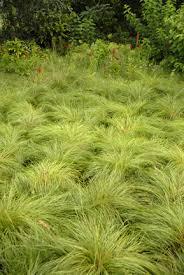 ornamental grasses the gateway gardener