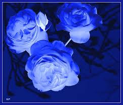 Blaue Rosen? - Bild \u0026amp; Foto von Ursula Plath aus Colorkey ... - 8220310