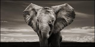 cool elephant wallpaper free elephant black and white wallpaper images long wallpapers