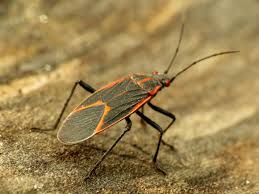 how to get rid of boxelder bugs permanently info solutions