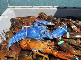 man snags rare bright blue lobster 2nd decades daily