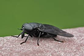 Flies In Backyard Gigantic Black Horse Fly Back Yard Biology