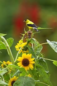 How To Attract Indigo Buntings To Your Backyard How To Attract Goldfinches With Your Garden Birds And Blooms