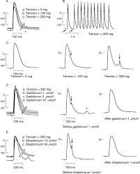 mechanoelectrical feedback regulates the arrhythmogenic activity