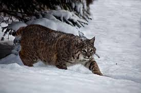 West Virginia wildlife images West virginia researchers want bobcat carcasses west virginia jpg