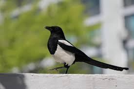 imagenes del animal urraca urraca características comportamiento hábitat alimentación ave