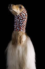 afghan hound look alike breeds afghan hounds pose in chic headscarf collection style life