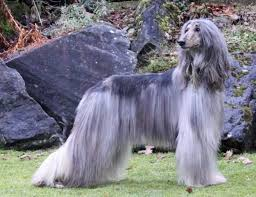 does an afghan hound shed hypoallergenic dog breeds that will keep you from sneezing